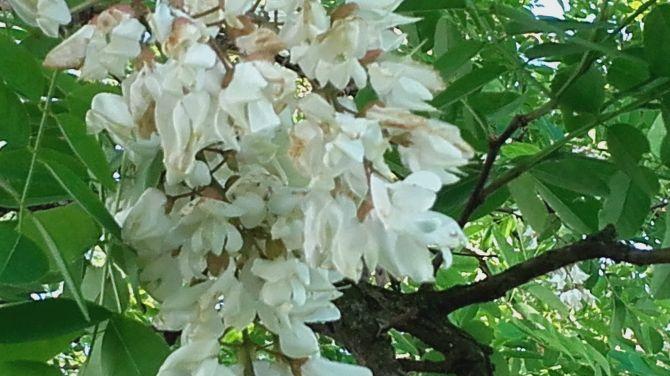 Sorbetto fiori di sanbuco